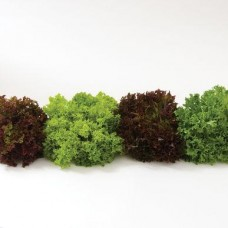 Lettuce - Salanova Foundation Collection